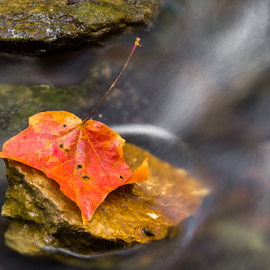 Autumn Leaf in Stream by Kenneth Keifer - Nature Up Close Leaves & Grasses ( swirling, stream, babbling, single, colorful, one, stone, rock, flow, leaf, yellow, blur, landscape, nature, details, autumn, foliage, fallen, creek, current, long exposure, wet, closeup, september, water, orange, brook, flowing, scenic, close up, maple, motion blur, blurred, red, splashing, color, cascade, fall, october, whitewater )