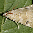 Cabbage Webworm Moth