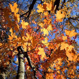 by Stacy Collier - Nature Up Close Trees & Bushes ( fall, color, colorful, nature )