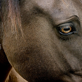 The Eye Has It by Barbara Brock - Animals Horses ( horse's eye, golden eye, horse profile, horse, dark brown horse head )