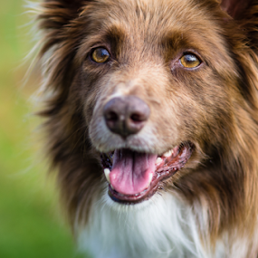 Foxy Lady by Karen Havenaar - Animals - Dogs Portraits ( border collie, red tri border collie, sigma 85 mm f/1.4 ex dg hsm, pentax, dog )