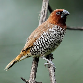 Scaly breasted munia by Sankaran Balaji - Animals Birds (  )