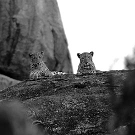 Chilling by Krisshanthan Dharmarajah - Animals Lions, Tigers & Big Cats
