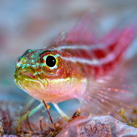 Goby by Henry Jager - Animals Fish ( jager, goby, pisces, marine, underwater, fish, wildlife, sea, helcogramma, ocean, travel, stripes, bokeh, conartix, photography, soft, helcogramma striataon, red, life, nature, fotografie, henry, small, eye )