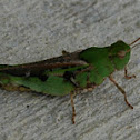 Southern Green-Striped Grasshopper