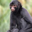 Macaco-aranha-preto