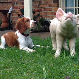 Friends by Dawn Simpson - Animals - Dogs Playing ( friends, laying, puppy, cute, posing, smiling, pig, funny. )