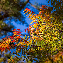 autumn colours by Vibeke Friis - Nature Up Close Leaves & Grasses ( blue sky, autumn, leaves, colours )
