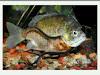 Candiru, ikan mematikan dari Amazon (Gambar 3)