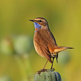 Bluethroat  by Sharad Agrawal - Animals Birds ( nature, rajasthan, udaipur, wildlife, poppy, india )