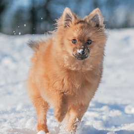 snow fun by Michael  M Sweeney - Animals - Dogs Running ( scotland, pet, snow, play, puppy, fun, michael m sweeney, run, dog, nikon, running )