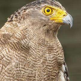 Yellow eyes by Garry Chisholm - Animals Birds ( bird, garry chisholm, nature, wildlife, falcon, prey, raptor, hawk )