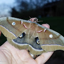 Polyphemus moth (female)