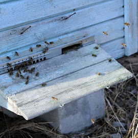 The first flight after winter by Maria Barbara - Nature Up Close Hives & Nests ( beehive, honey bees )