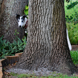 Dogwood Tree by Sandy Scott - Animals - Dogs Portraits ( dogwood tree, pets, racing greyhound, greyhound, dog, retired greyhound,  )