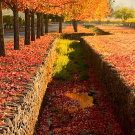 Trench with Liquid Amber trees by Gale Perry - Landscapes Prairies, Meadows & Fields ( , fall, color, colorful, nature )