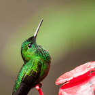 Green-crowned Brilliand - Brillante Coroniverde