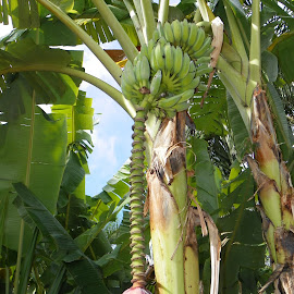 banana tree by Donna Savage Sharkey - Novices Only Flowers & Plants