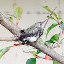 Anna's Hummingbird (fledgeling)
