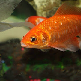 Orange you glad to see me by Snow Losh - Animals Fish