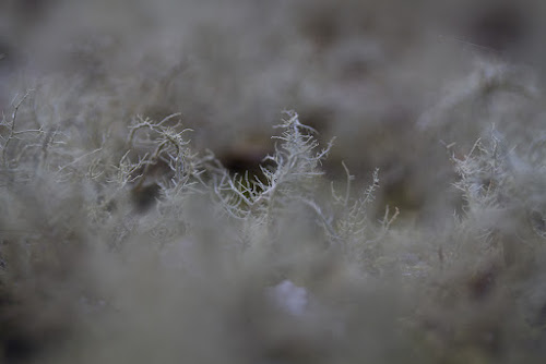 <p> Macro close-up of Lichens, Brede Woods.</p>