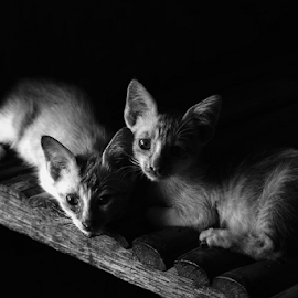 Kittens by Herry Wibowo - Animals - Cats Kittens