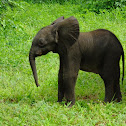 African Elephant (newborn)