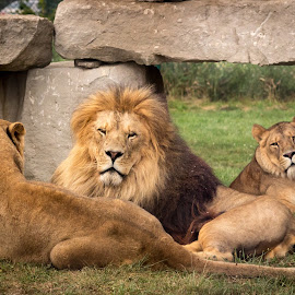 The King by Voicu Lupan - Animals Lions, Tigers & Big Cats ( lion, safari, power, africa, king )