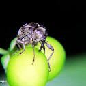 Weevil
