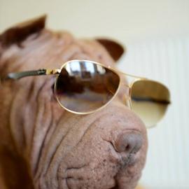 cool dude  by Michael Sweeney - Animals - Dogs Playing ( ray bans, natural light, scotland, uk, window light, dog with sunglasses, sunglasses, d800 dog, aviators, dog animail, dog with ray bans, murphy sharpei, dog, nikon, light )