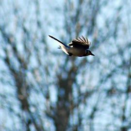 blue jay  by Jessica Troxal - Novices Only Wildlife ( bird, flying, flight, blue, jay )