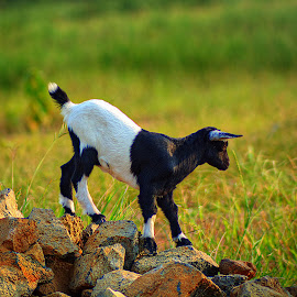 Little Horse by Mursyid Alfa - Animals Other Mammals
