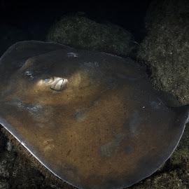 Who are you? by Alexandre Ribeiro Dos Santos - Animals Fish ( common stingray, dasyatis pastinaca, pico island, atlantic ocean, açores, underwater photography, portugal, azores )