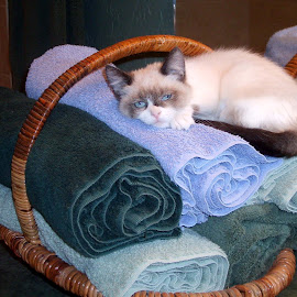 New napping nook by Marijo Phelps - Animals - Cats Kittens ( snowshoe, cat, kitten, blue eyes, adorable )