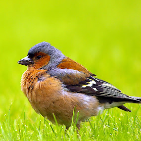Chaffinch  by Ian Flear - Animals Birds