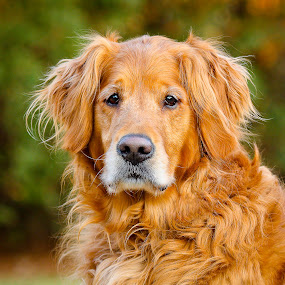 Kip by Paul Brown Jr. - Animals - Dogs Portraits ( old dog, dog, golden, golden retriever, , #GARYFONGPETS, #SHOWUSYOURPETS )