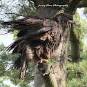 BALD EAGLE (Fledgling)