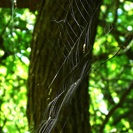Spider web by Zalena El-Homsi - Nature Up Close Webs ( ipclose, nature, web,  )