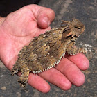 Blainville's horned lizard (Coastal horned lizard)