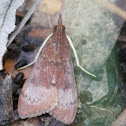 Tree Lucerne Moth  (eastern form)