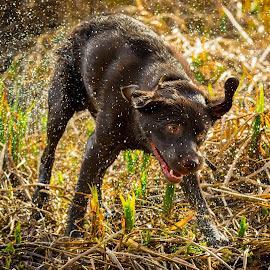 Wet shaking Labrador by Jenny Trigg - Animals - Dogs Running ( retriever, shaking dog, wet dog, dog, labrador, photography,  )