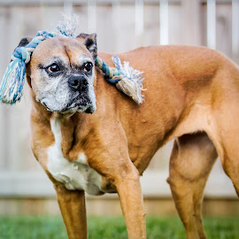 Where is my Rope? by Shawn Klawitter - Animals - Dogs Portraits ( playing, pet, boxer, outdoors, dog )