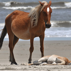 every baby needs a nap by Maggie Smith - Animals Horses ( animals, horses, baby animals,  )