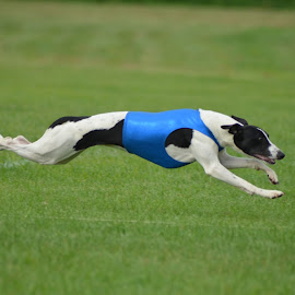 Bounding Whippet by Renee McCartin - Animals - Dogs Running ( coursing, whippet )