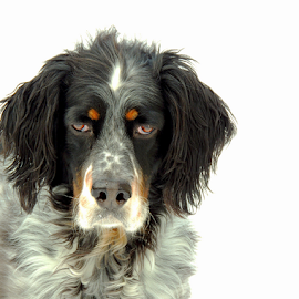 Radar` by Sydney Badeau - Animals - Dogs Portraits ( white, setter, brown, dog, english, black )