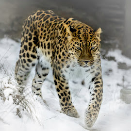 Amur Leopard by Elmo Ensio - Animals Lions, Tigers & Big Cats ( zoo, snow, helsinki, amur leopard )