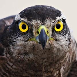 Falcon by Bob Khan - Animals Birds