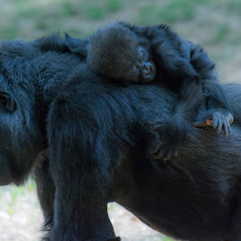 Mother and Child by Brandon Satinsky - Animals Other Mammals ( nature, gorilla, mammal, animal )