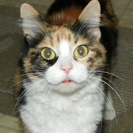 Patches by Tammy Jones Perdue - Animals - Cats Portraits ( calico cat,  )