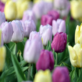 tulips by Rafael Quizon - Nature Up Close Gardens & Produce ( keukenhof, holland, tulips, flowers )